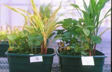 Very severe sulfur deficiency in corn