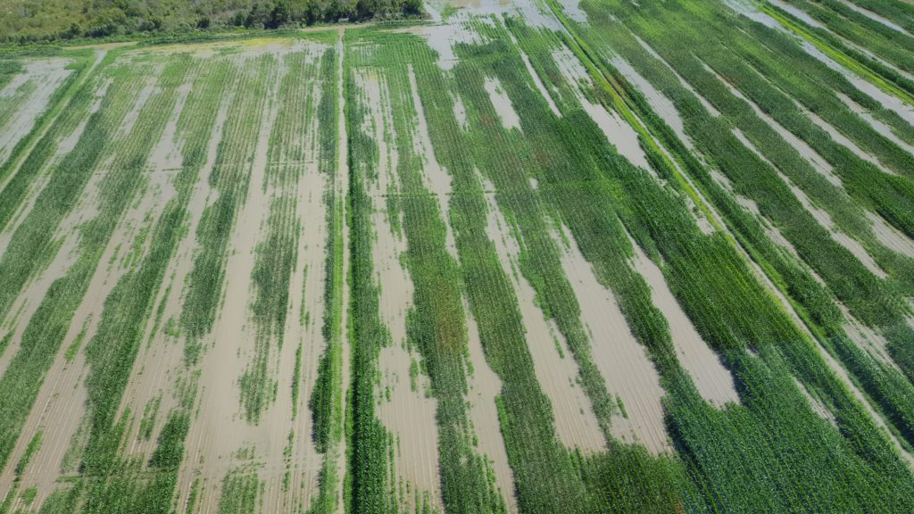 Image of the flooding of corn
