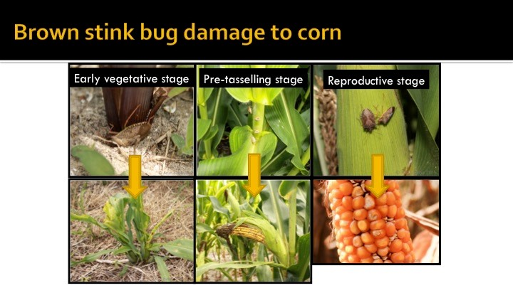 Image of stink bug damage