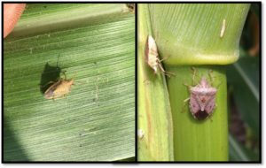 Cover photo for Scout Before Spraying Stink Bugs in Corn