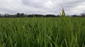 Cover photo for Pre-Plant Strategies for Wheat - Webinar